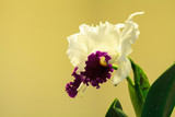 Tropical white and purple Cattleya orchid