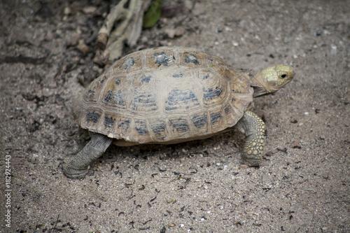 Fotobehang Schildpad Yellow turtle or Elongated tortoise / One Turtles walking