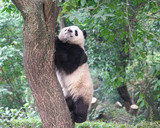 young panda climbing up and playing on the tree - 182924864