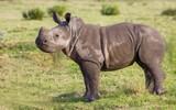 Baby White Rhino with an Attitude - 182926239