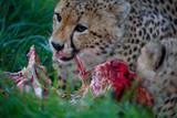 Cheetah Wild Cat Eating