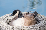 goose resting inside a big basket on riverside - 182927812