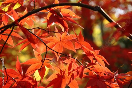 Foto op Plexiglas Rood paars 日に透けた赤いかえでの葉
