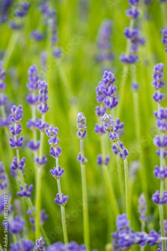 Aluminium Lavendel Lavender field background