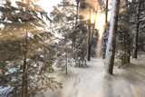 flooded with sunlight winter pine forest - 182935092