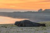 Phoque veau-marin sur son reposoir à l'aube - 182936264