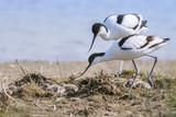 Avocette élégante - Recurvirostra avosetta - Pied Avocet - 182936607