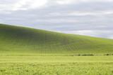 Wheat rows - 182936693