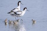 Avocette élégante - Recurvirostra avosetta - Pied Avocet - 182937040
