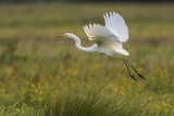 Grande Aigrette - Ardea alba - Great Egret - 182938692
