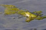Grenouille verte,grenouille commune,Rana klepton esculenta - 182938698