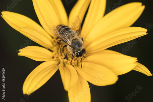 Fotobehang Bee the bee is sitting on a yellow flower, top view