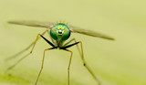 long-legged flies on green leaf - 182946642