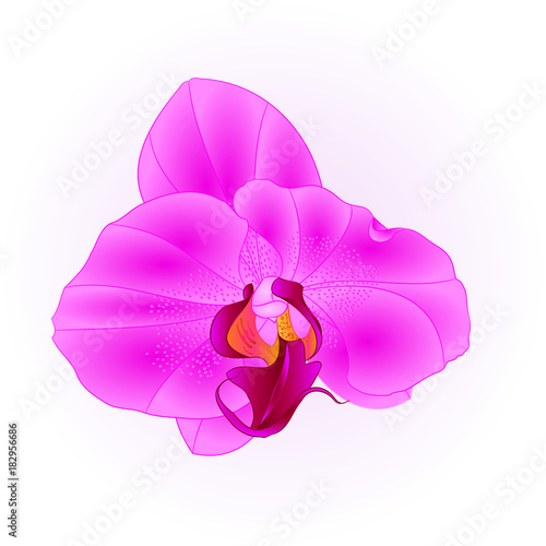 Purple beautiful Orchid Phalaenopsis flower closeup isolated vintage  vector illustration editable  hand draw
