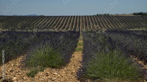 Tuinposter Lavendel Champ de lavande à Valensole, Alpes-de-Haute-Provence, France