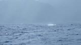 Whale breaching in ocean at French Polynesia Tahiti on wildlife tour holiday - 182962235