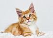 cute red tabby kitten