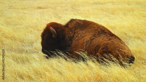Plexiglas Bison Sleepy Bison