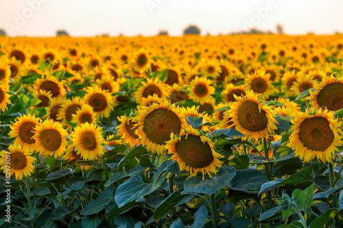 Fototapeta Field of sunflowers against backlight