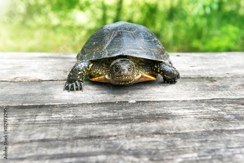 Fotobehang Schildpad Turtle on wooden desk