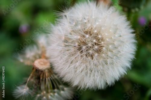 Plexiglas Paardebloemen puff flower