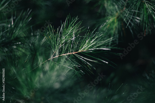 Pine needles. Guilderland, NY. 2017. - 182980065
