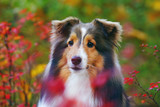 The portrait of a cute sable Sheltie dog posing outdoors with red bushes in autumn - 182981669