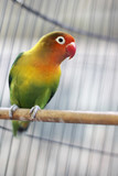 Lovebird sitting on the cage - 182983248