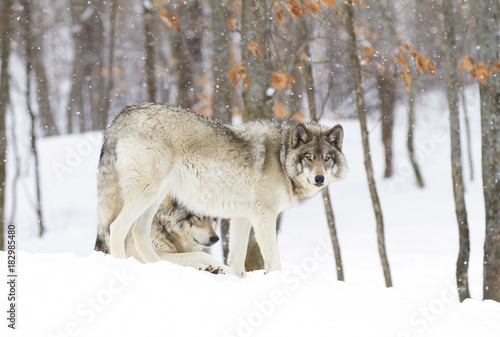 Plexiglas Wolf Timber wolves (Canis lupus) standing in the winter snow