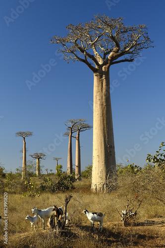 Aluminium Baobab Goats in Baobab alley Morondava Madagascar