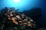School of Humpback red snapper (Lutjanus gibbus), Maldives, Indian ocean - 182995001