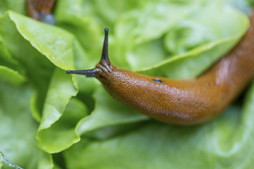 snail with lettuce leaf