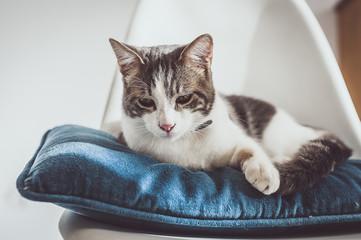 Chat tigré blanc allongé