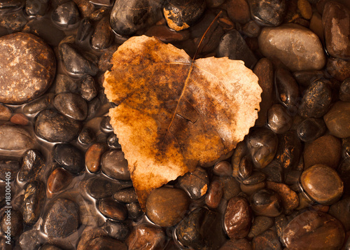 Poster Chocoladebruin An amber colored autumn cottonwood leaf on a layer of pebbles and water.