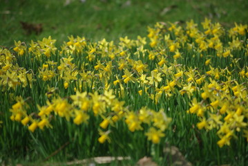 Feld aus Osterglocken zu Ostern im Frühling