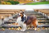 Fluffy sable Sheltie dog staying on the stairs near wooden benches in autumn park - 183015464