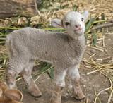 lamb - 183021679
