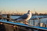 Möwe guckt auf Hamburger Hafen - 183027203