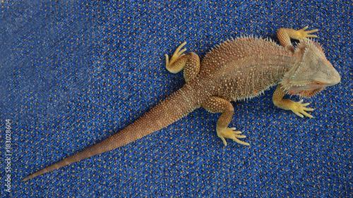 Aluminium Kameleon Gecko