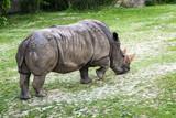 Rhinoceros (Ceratotherium simum) eating green grass - 183033472