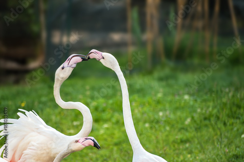 Pink Greater Flamingos playing on green grass (Phoenicopterus ruber) Poster