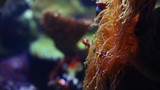 Pull focus shot of clown fish and coral by - 183034237