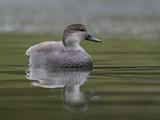 Male Gadwall Swimming - 183043413