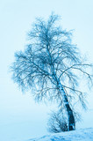 solitary winter birch tree, blue toning - 183044239