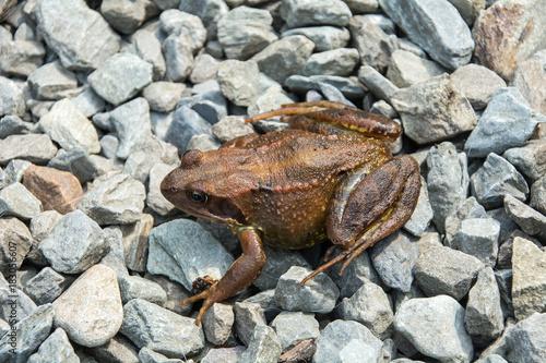Fotobehang Kikker Small brown frog on gravel