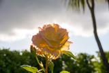 Yellow rose in flower garden. - 183058017