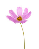 Light pink Cosmos flower isolated on white background. Garden Cosmos - 183061281