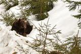 bear portrait in the snow - 183061641