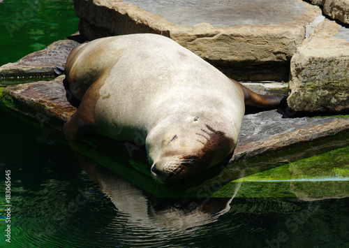sea lion near the water Poster