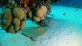 Blue spotted stingray resting in a coral reef - 183068254